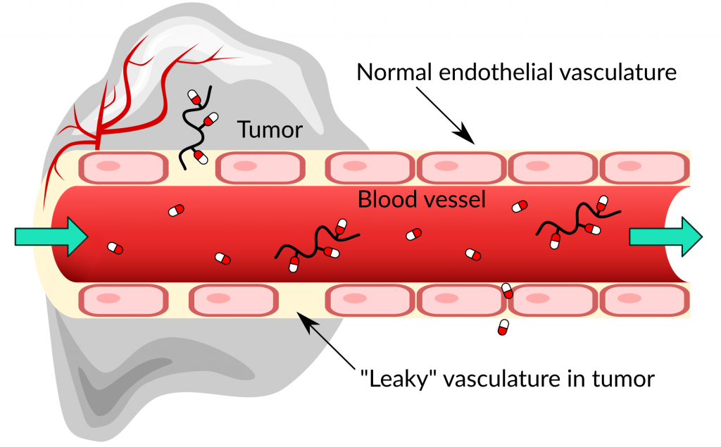 healthy and leaky blood vessels and their permeability to small drugs and polymer-drug conjugates